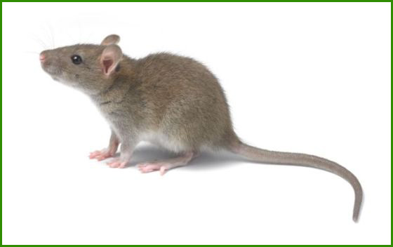 老鼠防治方案