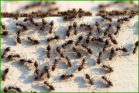 蚂蚁防治方案