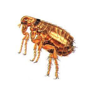 蚤类防治方案