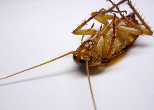 家里出现蟑螂,应该如何防治