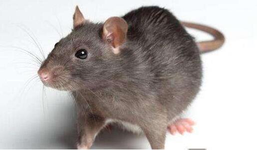 老鼠的危害和防治