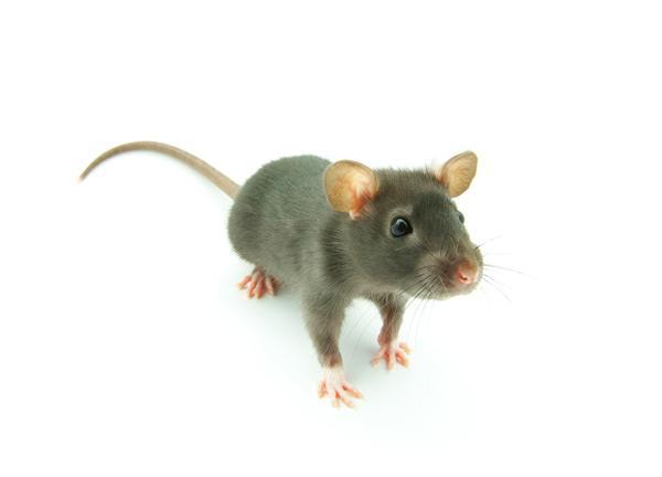 下水道老鼠危害如何防治