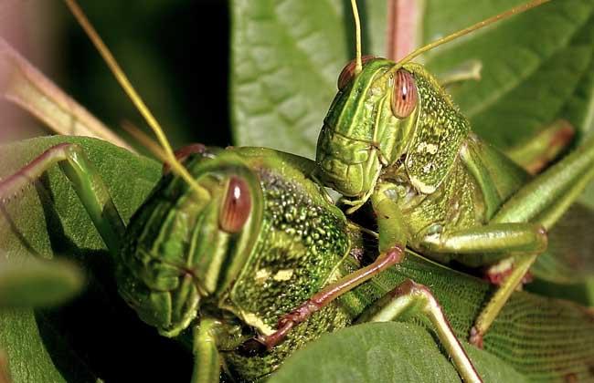 蝗虫的危害与防治