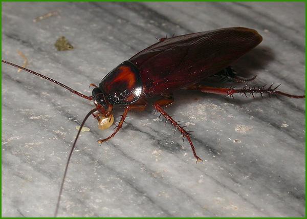 蟑螂防治效果1