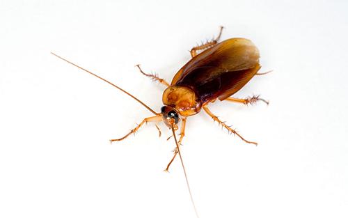 蟑螂防治灭杀