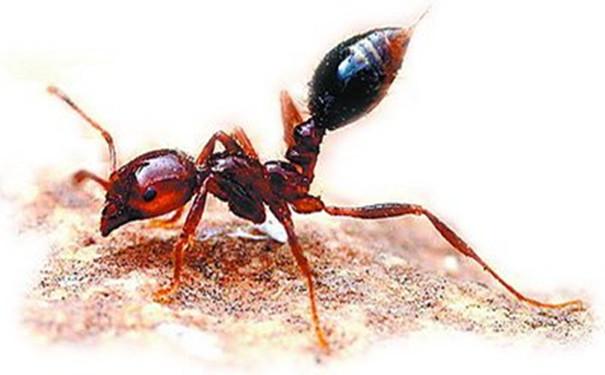 红火蚁的危害与防治介绍
