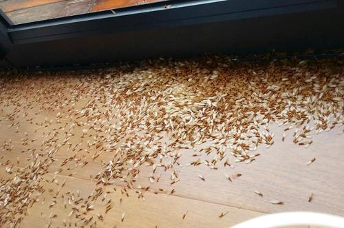 虫害防治公司教你如何灭杀飞白蚁