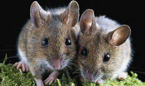 老鼠防治,选择专业的灭鼠公司效果更好